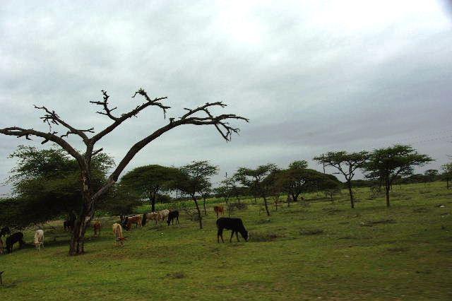 エチオピア(83) ウォンドゲネットからズワイ湖へ_c0011649_646507.jpg