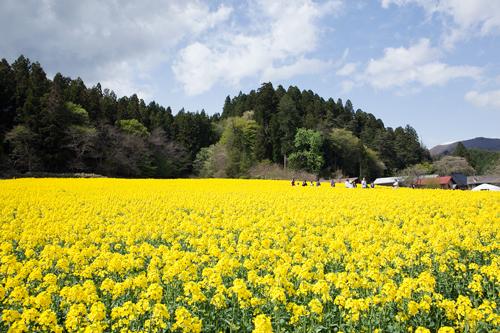 田植え体験&菜の花巡りツアー_b0147354_1941584.jpg