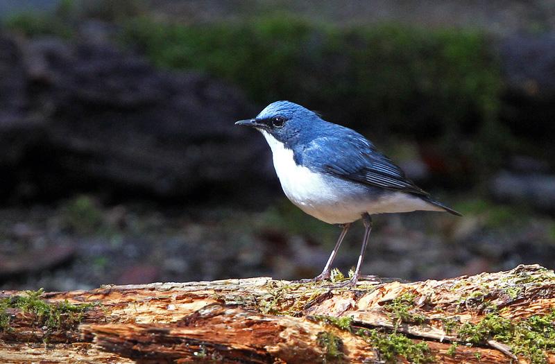 青い鳥「コルリ」さん♪_d0195897_14292694.jpg