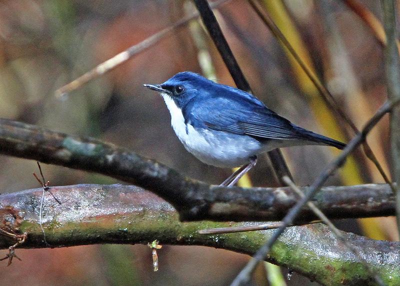 青い鳥「コルリ」さん♪_d0195897_14302088.jpg