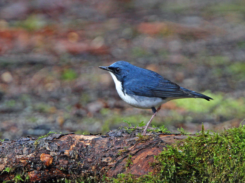 青い鳥「コルリ」さん♪_d0195897_14305561.jpg