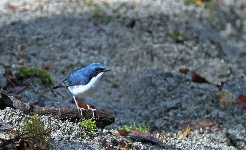 青い鳥「コルリ」さん♪_d0195897_14314259.jpg