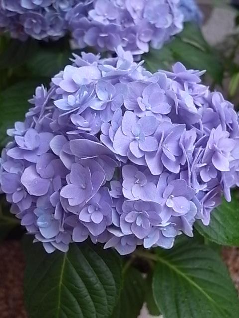 L\'hortensia_d0232015_1419056.jpg