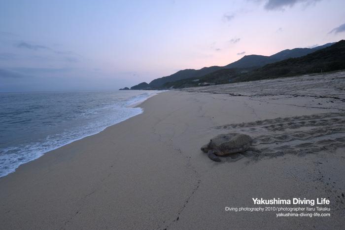 アカウミガメの産卵_b0186442_20594667.jpg