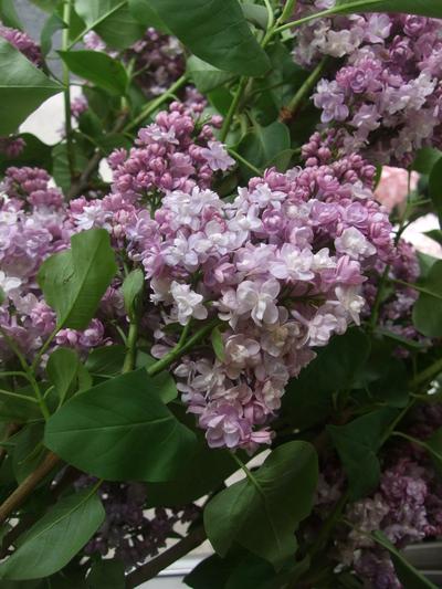 オークリーフ(ホタルブクロの咲く季節)_f0049672_17574058.jpg