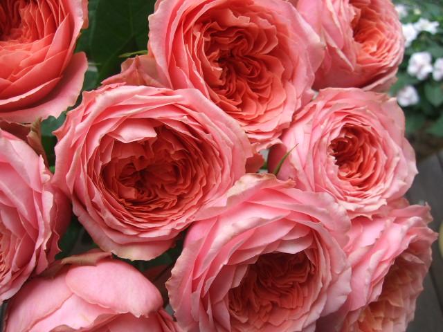 オークリーフ(ホタルブクロの咲く季節)_f0049672_1853159.jpg