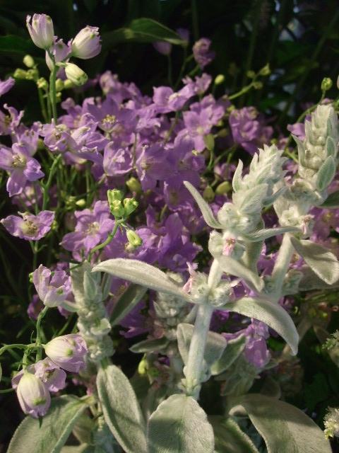 オークリーフ(ホタルブクロの咲く季節)_f0049672_1853747.jpg
