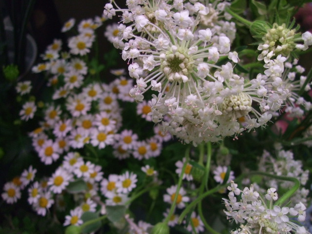 オークリーフ(ホタルブクロの咲く季節)_f0049672_1855890.jpg