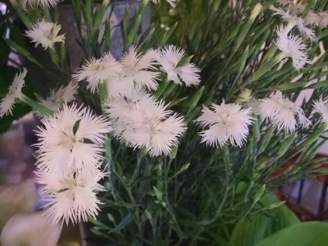 オークリーフ(ホタルブクロの咲く季節)_f0049672_18611100.jpg
