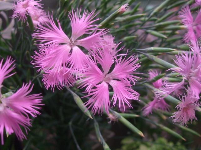 オークリーフ(ホタルブクロの咲く季節)_f0049672_186492.jpg
