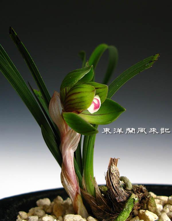 中国春蘭・荷花弁「天香荷」             No.405_b0034163_224604.jpg