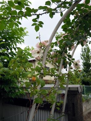 黄色い木いちごの実2種_e0097534_16121325.jpg