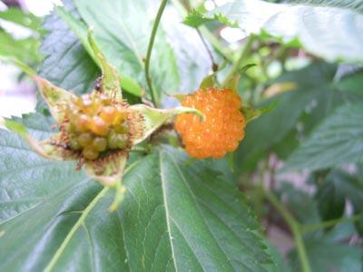 黄色い木いちごの実2種_e0097534_16204263.jpg