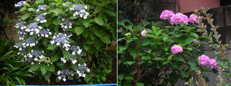 散歩を楽しく/雨上がりの代官山と紫陽花散策_d0183174_8333319.jpg