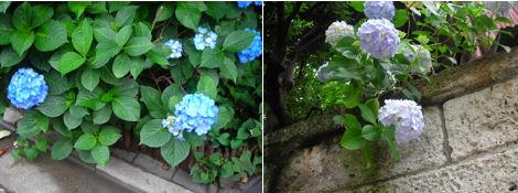 散歩を楽しく/雨上がりの代官山と紫陽花散策_d0183174_83389.jpg