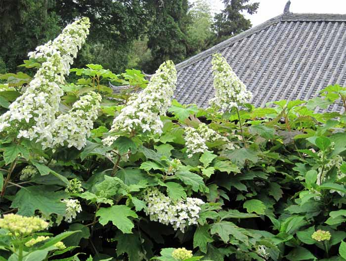 柏葉紫陽花 (カシワバアジサイ) Hydrangea quercifolia   \'Snow Flake\'          _e0016894_842913.jpg