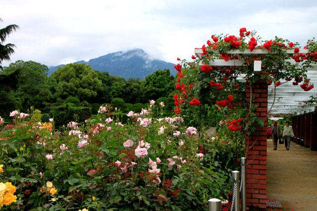 バラが咲いた 府立植物園1_e0048413_2031033.jpg
