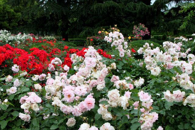 バラが咲いた 府立植物園1_e0048413_20311557.jpg