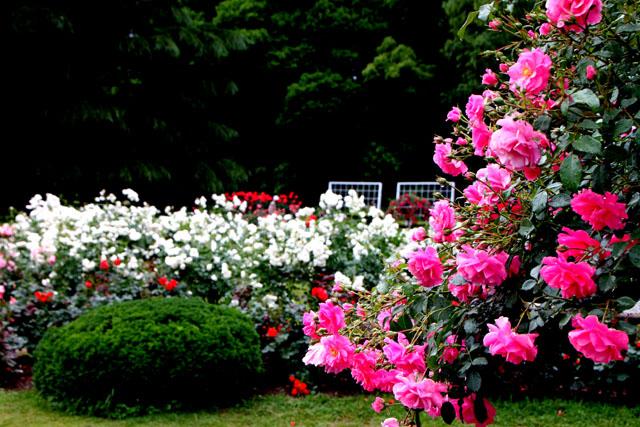 バラが咲いた 府立植物園1_e0048413_20313110.jpg