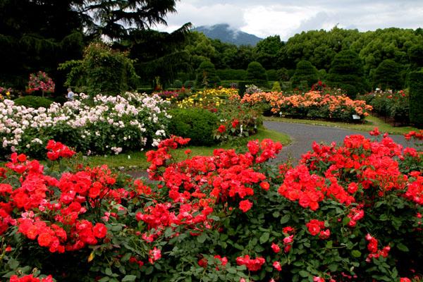 バラが咲いた 府立植物園1_e0048413_20314355.jpg