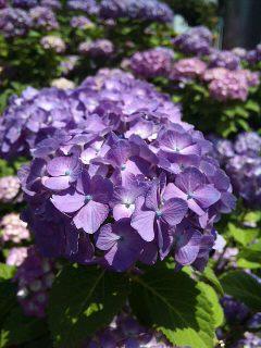 名古屋の紫陽花_a0103940_16183632.jpg
