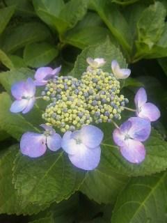 紫陽花とたんぼ_a0103940_19521158.jpg