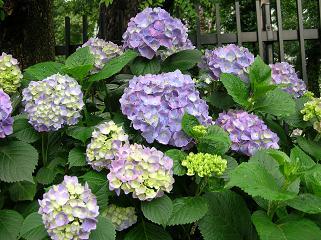 紫陽花展覧会_f0139963_7115540.jpg