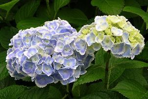 紫陽花展覧会_f0139963_7133440.jpg
