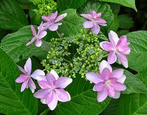 紫陽花展覧会_f0139963_713514.jpg