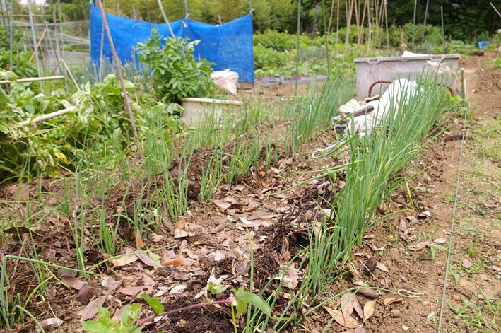 ジャガイモの先行収穫と雑草取りに集中(2011・6・10)_c0014967_1011444.jpg