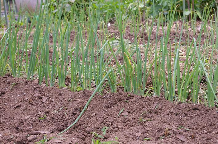ジャガイモの先行収穫と雑草取りに集中(2011・6・10)_c0014967_1012098.jpg