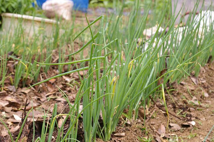 ジャガイモの先行収穫と雑草取りに集中(2011・6・10)_c0014967_10122292.jpg