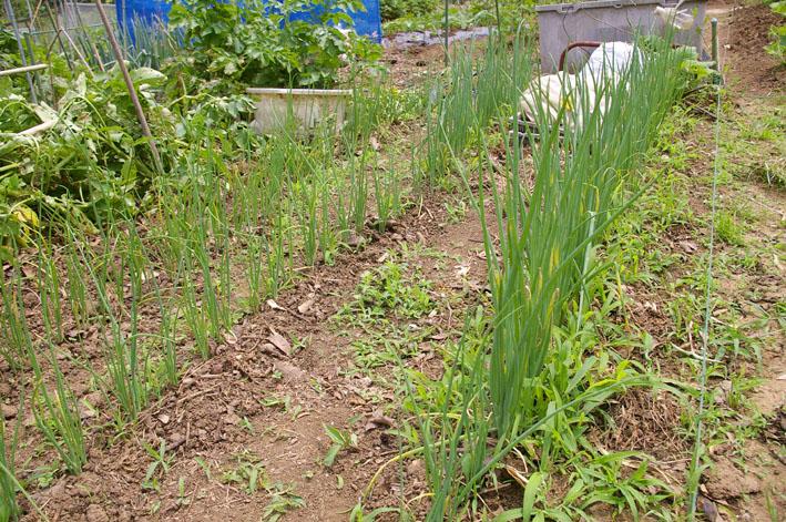 ジャガイモの先行収穫と雑草取りに集中(2011・6・10)_c0014967_10124317.jpg