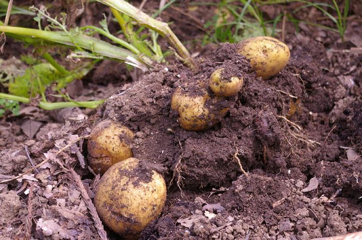 ジャガイモの先行収穫と雑草取りに集中(2011・6・10)_c0014967_1041379.jpg