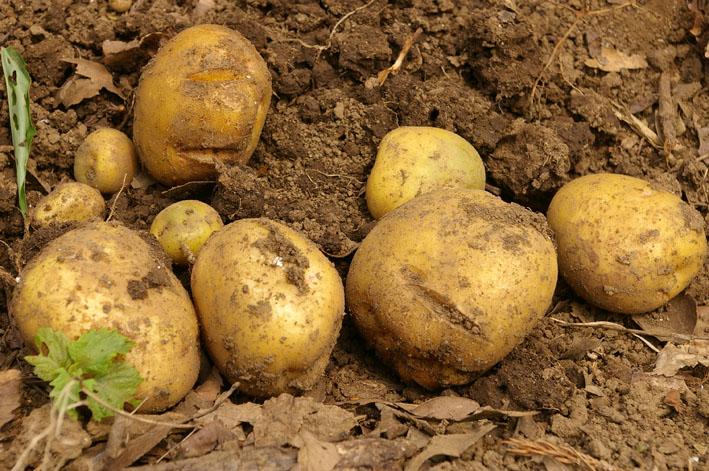 ジャガイモの先行収穫と雑草取りに集中(2011・6・10)_c0014967_1043656.jpg