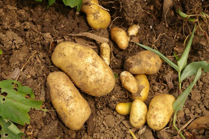 ジャガイモの先行収穫と雑草取りに集中(2011・6・10)_c0014967_1054359.jpg