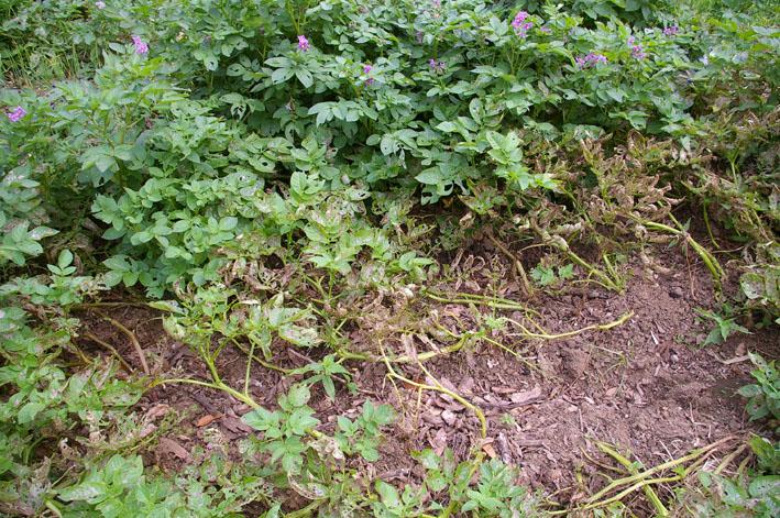 ジャガイモの先行収穫と雑草取りに集中(2011・6・10)_c0014967_105774.jpg