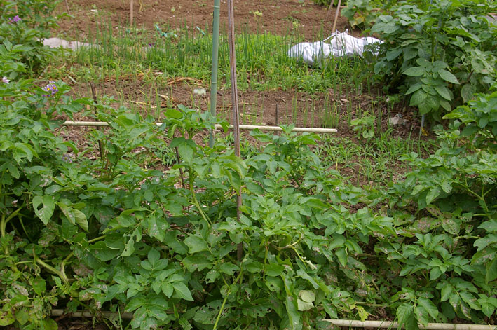 ジャガイモの先行収穫と雑草取りに集中(2011・6・10)_c0014967_1061156.jpg