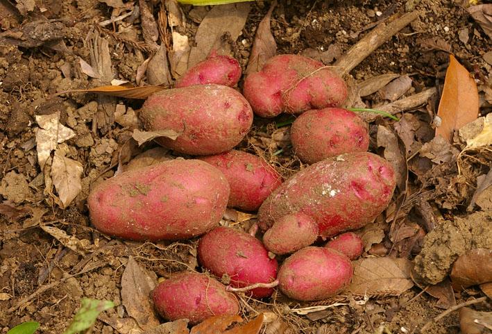 ジャガイモの先行収穫と雑草取りに集中(2011・6・10)_c0014967_1062882.jpg