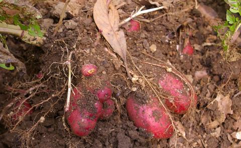ジャガイモの先行収穫と雑草取りに集中(2011・6・10)_c0014967_1064938.jpg