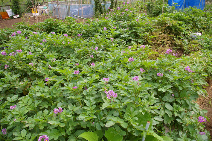 ジャガイモの先行収穫と雑草取りに集中(2011・6・10)_c0014967_107626.jpg