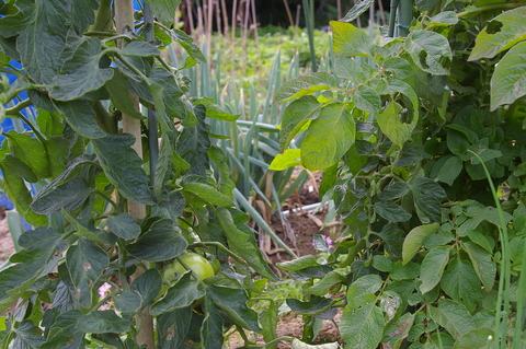 ジャガイモの先行収穫と雑草取りに集中(2011・6・10)_c0014967_9523252.jpg