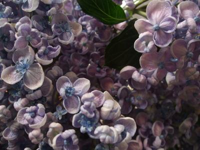 オークリーフ(紫陽花・オタフク)_f0049672_1721170.jpg
