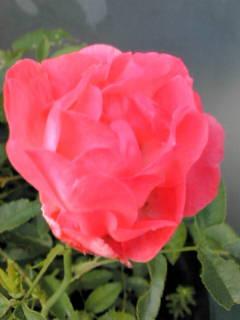 ≪香り≫つながりの出遅れのバラさん達が、咲きました。 _d0144720_11244565.jpg