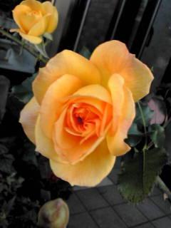 ≪香り≫つながりの出遅れのバラさん達が、咲きました。 _d0144720_11265772.jpg