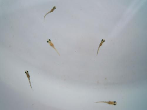 異種間交配の稚魚、生育中。_e0097534_15302737.jpg