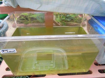 異種間交配の稚魚、生育中。_e0097534_153516.jpg