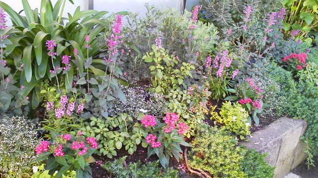 ここにもアガスターチ・・・・・病院のお庭の植栽_b0137969_6333898.jpg