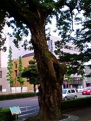 明徳町のシナサワグルミ_e0064783_23102151.jpg