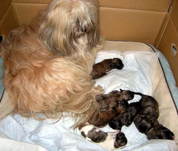 ラサ・アプソの赤ちゃん、リリィさんがお母さんに^^/_e0092286_15444256.jpg